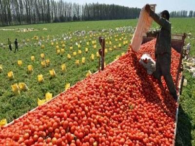 tomato harvest 02.jpg